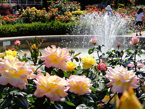 フラワーガーデンの噴水とバラ