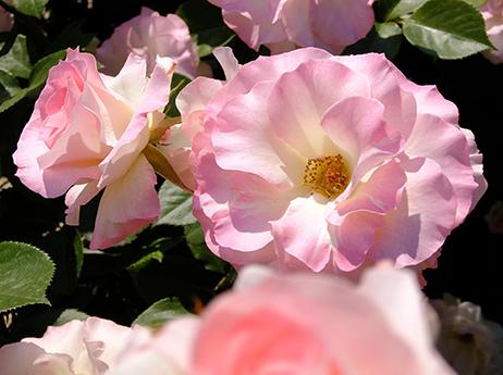 ピンクのバラ・マチルダ