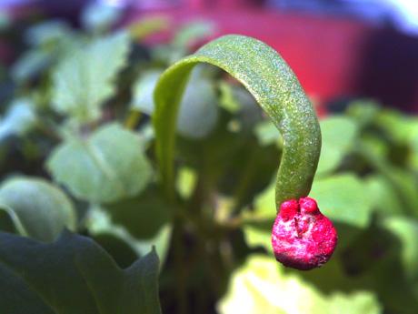 ベビーリーフの芽(ほうれんそう)