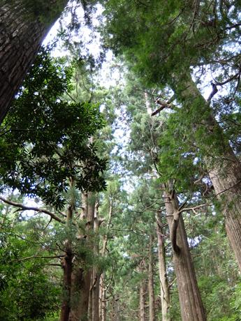 熊野古道の杉