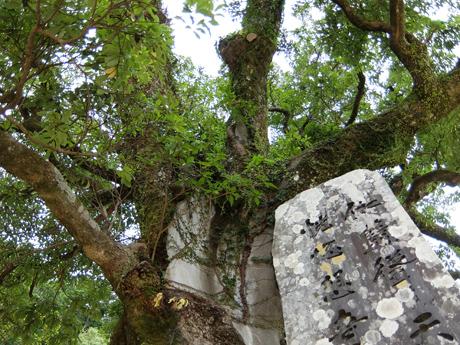 青岸渡寺のタブノキ
