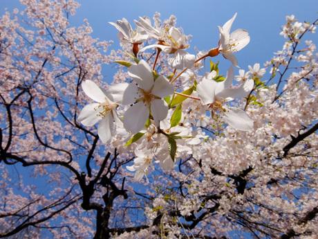 しだれ桜の花