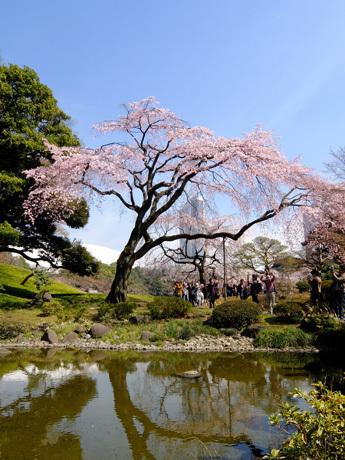 小石川後楽園のしだれ桜