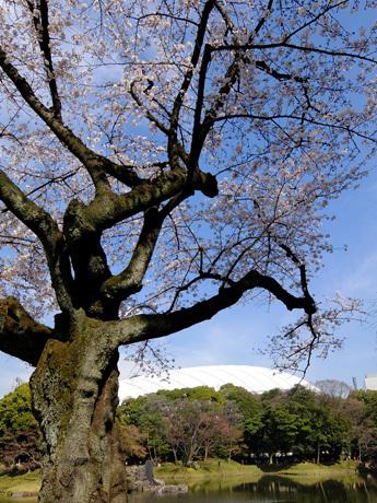 東京ドームと桜