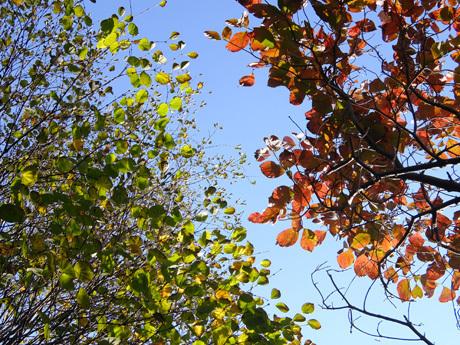 カツラとハナミズキの紅葉
