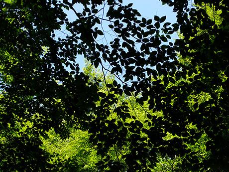 美人林のブナ葉