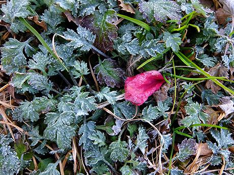 凍った草とバラの花びら