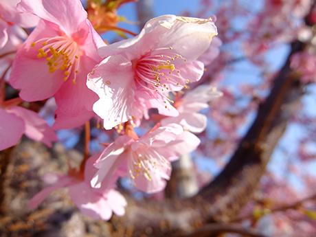 葛西の川津桜