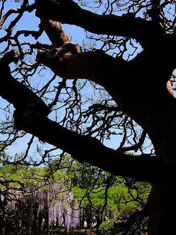 松の木と藤棚