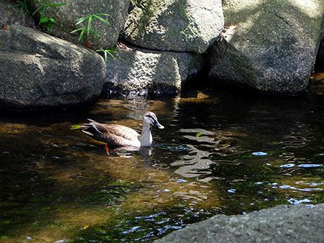 親水公園の水鳥