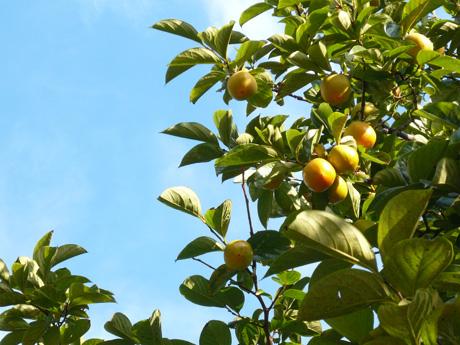秋晴れ・柿