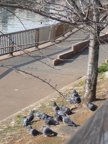 ひなたぼっこする鳩