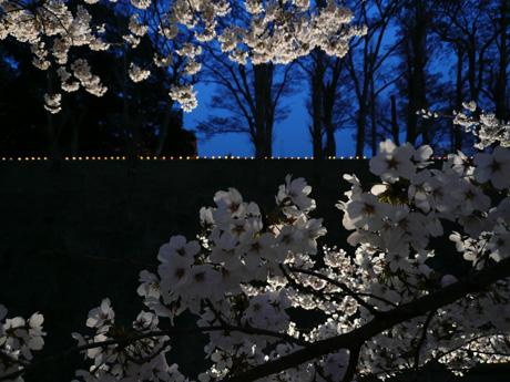 お堀の桜ライトアップ