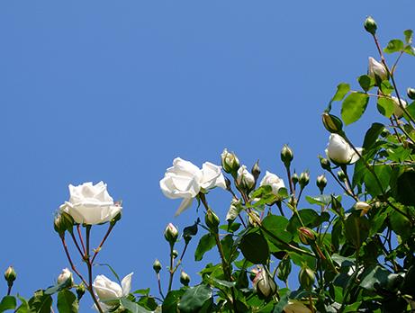 青空と白いつるバラ