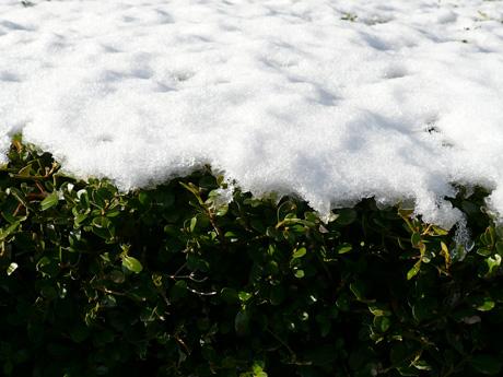植え込みに残る雪