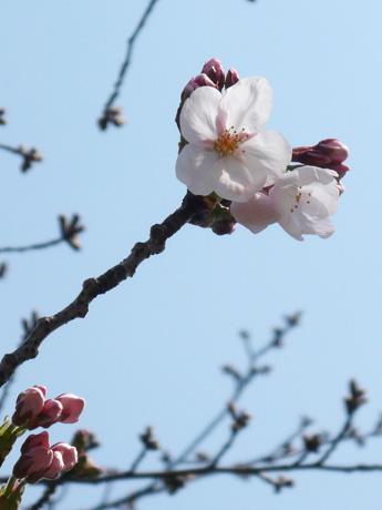 行船公園で咲き始めたソメイヨシノ
