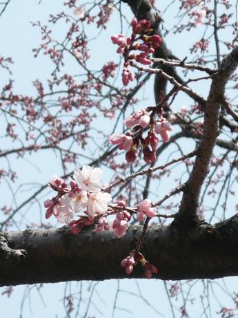 行船公園のしだれ桜