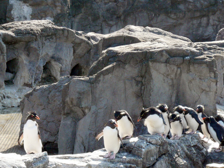 イワトビペンギンの行列