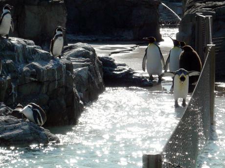 キングペンギンとフンボルトペンギン