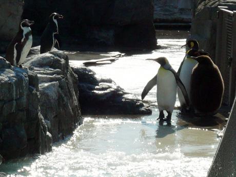 キングペンギンとフンボルトペンギン2