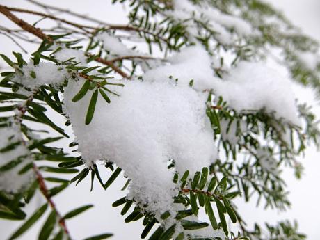 針葉樹につもる雪