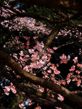 枝越しの寒桜