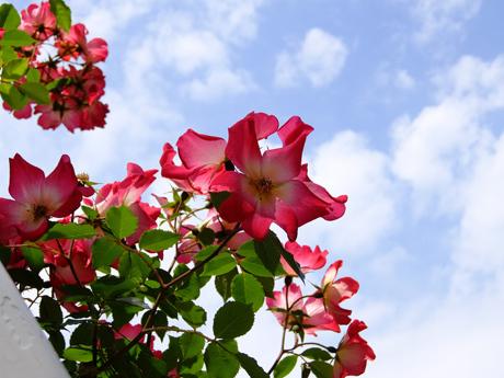 青空と赤いバラ(カクテル)
