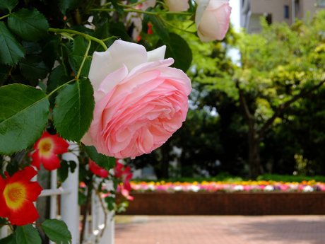バラのアーチと花壇