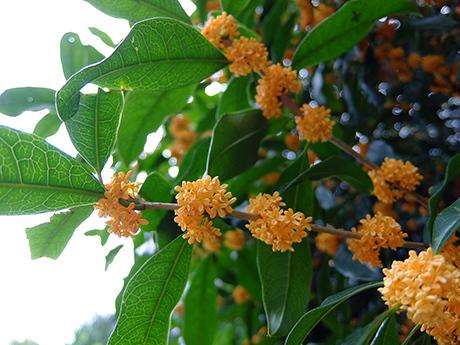 キンモクセイの枝