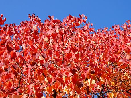 ナンキンハゼの紅葉と青空