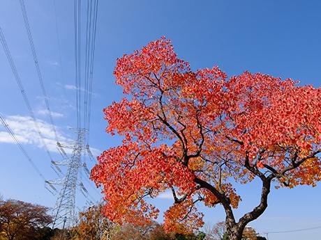 ナンキンハゼの紅葉と送電線
