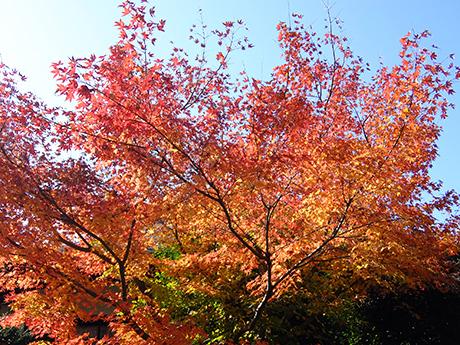 上野の清水観音堂前の紅葉