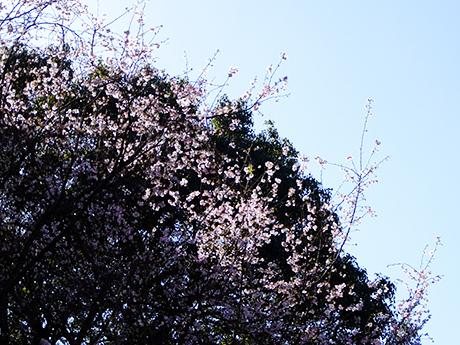 上野公園の冬桜