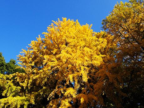 上野公園の銀杏と青空