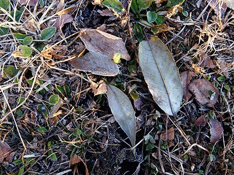 凍った草と枯れ葉