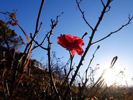 冬のバラと青空