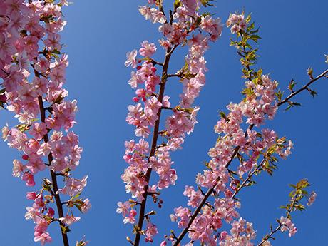 青空と川津桜
