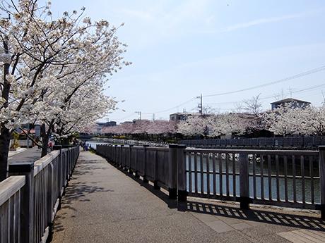 新川千本桜の遊歩道
