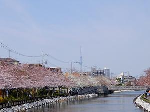 新川千本桜とスカイツリー