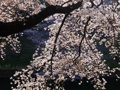 日に輝く桜