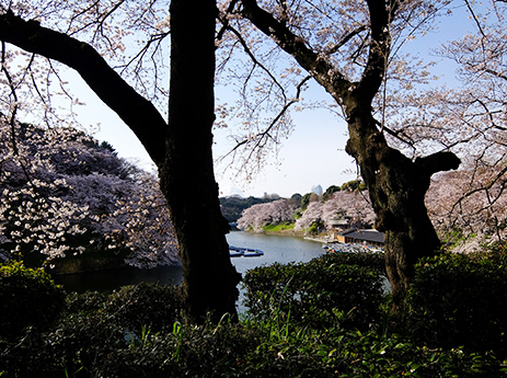 千鳥ヶ淵の桜