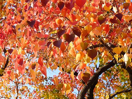 ナンキンハゼの紅葉