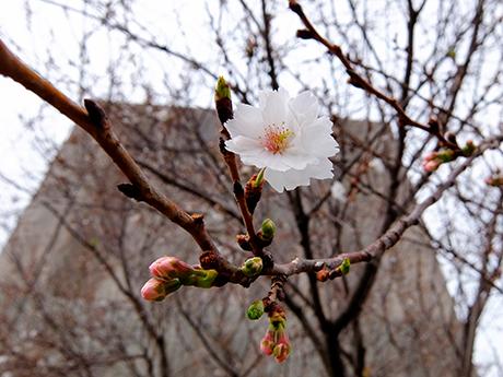 コブクザクラの花