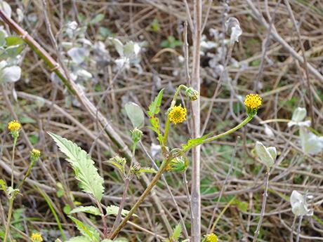 枯れ草と黄色い花