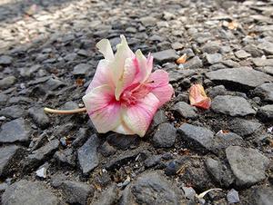 ギョイコウの落花