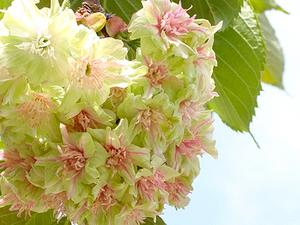 ギョイコウの花