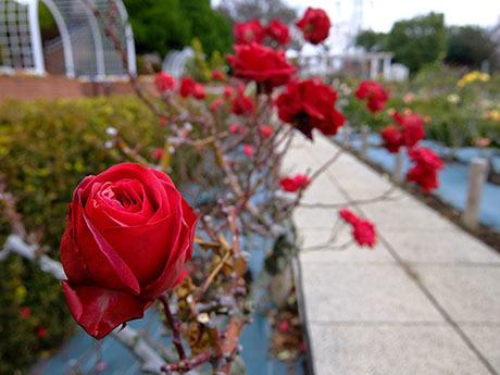 冬の赤いバラ