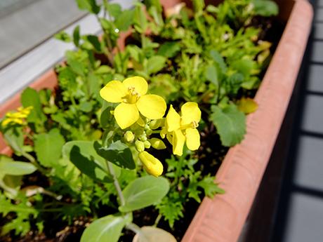 ベビーリーフの花