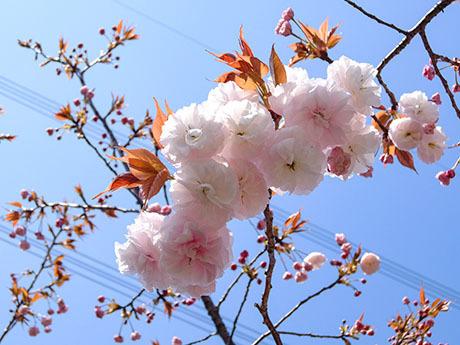青空と八重桜