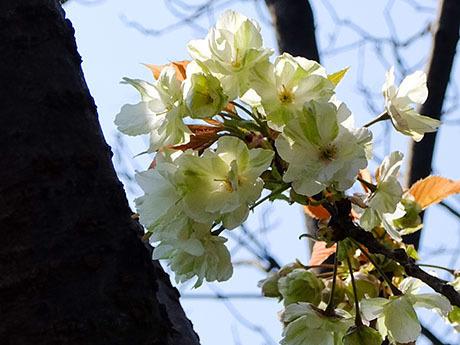 緑の桜鬱金